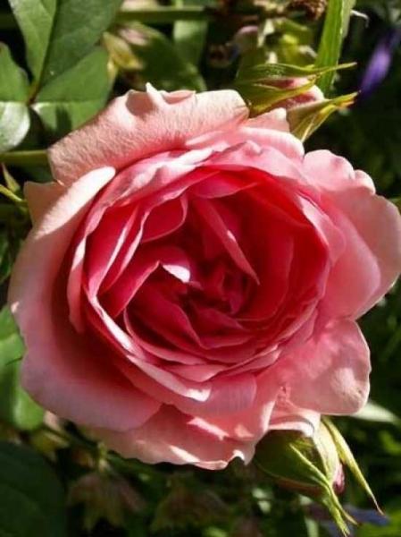 Rosa 'Kimono ®' / Beetrose 'Kimono'