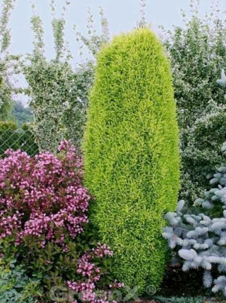 Juniperus communis 'Gold Cone' / goldene Heidewacholder