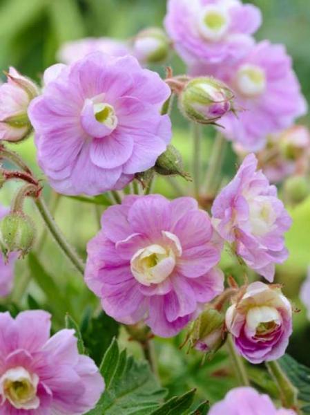 Geranium pratense 'Summer Skies ®' / Gefüllter Wiesen-Storchschnabel