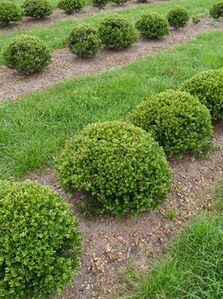 Ilex crenata 'Dark Green' Kugel / Buchsblättrige Japanische Hülse 'Dark Green' Kugel 50-60 cm mit Drahtballierung
