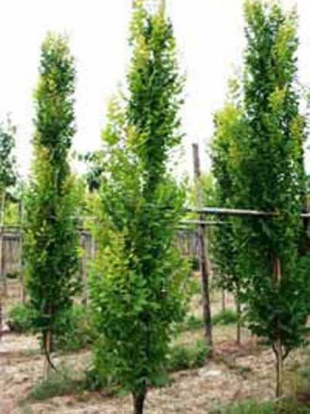 Koelreuteria paniculata 'Fastigiata' / Säulen-Blasenesche / Säulen-Blasenbaum