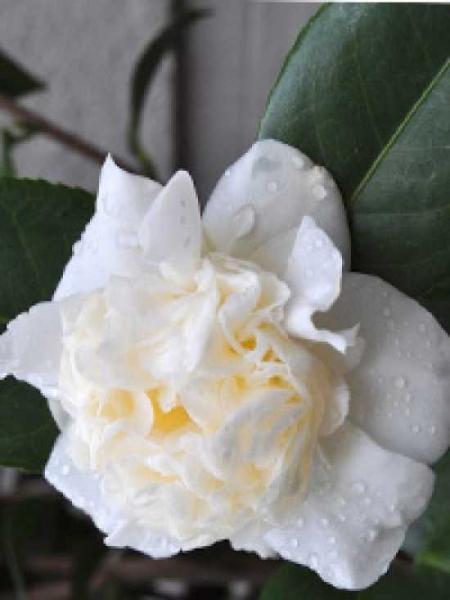 Camellia japonica 'Snowball' / Japanische Kamelie 'Snowball'