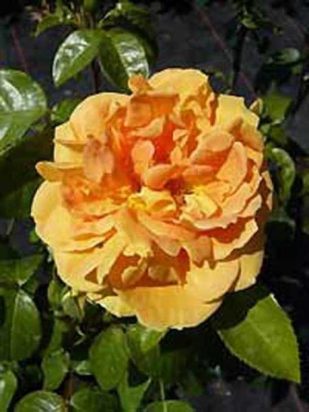 Rosa 'Bernstein Rose ®' / Beetrose 'Bernstein Rose'