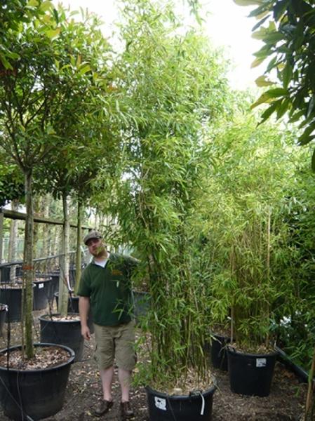 Phyllostachys bissetii / Bisset Bambus 300-350 cm im 100-Liter Container