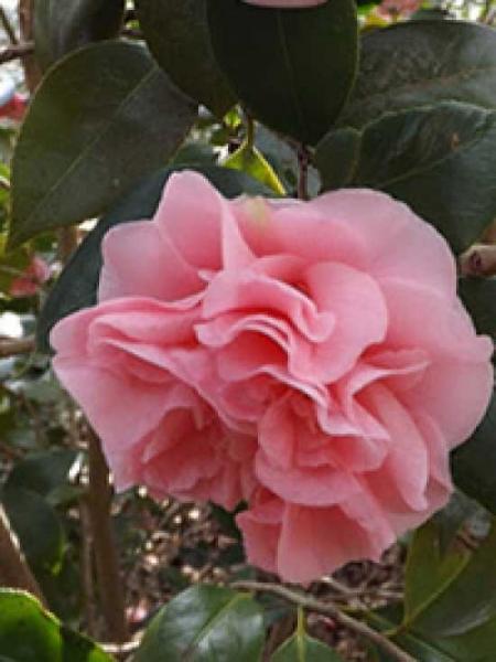 Camellia japonica 'Tiffany' / Japanische Kamelie 'Tiffany'