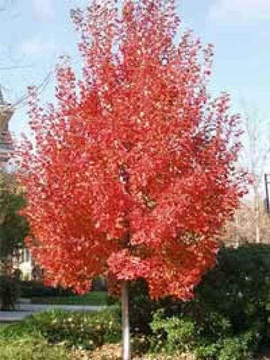 acer rubrum 39 red sunset 39 rot ahorn 39 red sunset 39 g nstig bestellen baumschule new garden