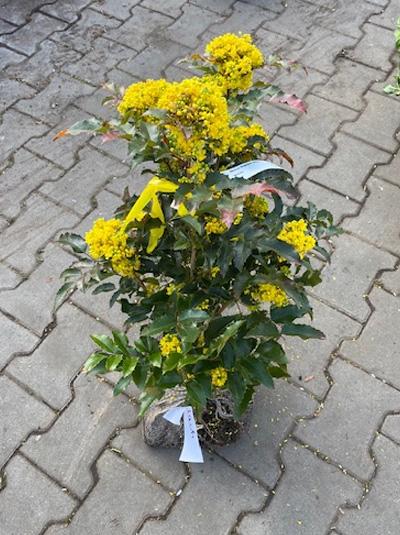 Mahonia aquifolium 'Atropurpurea' / Mahonie 'Atropurpurea'