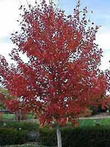 Persischer Eisenholzbaum Eisenbaum Parrotia persica