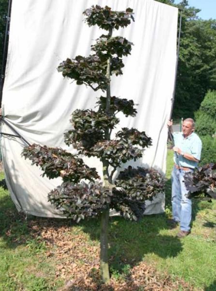 Fagus sylvatica 'Purpurea' H: 280 cm B: 160 cm / Garten-Bonsai (701108)