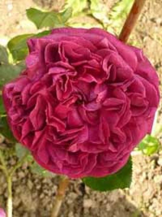 englische rosen g nstig in top baumschulqualit t kaufen. Black Bedroom Furniture Sets. Home Design Ideas