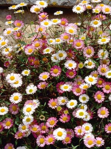 Erigeron karvinskianus / Spanisches Gänseblümchen