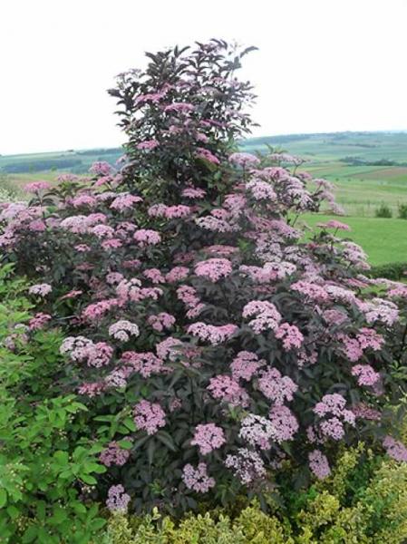 Sambucus nigra 'Black Lace ®' / Rotblättriger Schlitz-Holunder