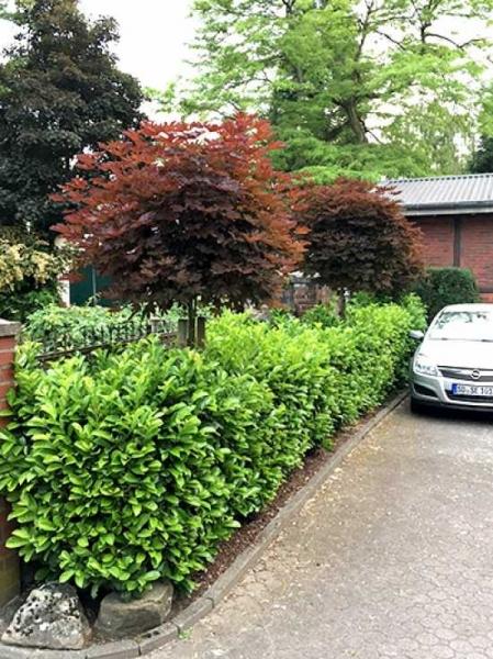 Acer platanoides 'Crimson Sentry' / roter Kugelahorn 'Crimson Sentry' (kopfveredelt)
