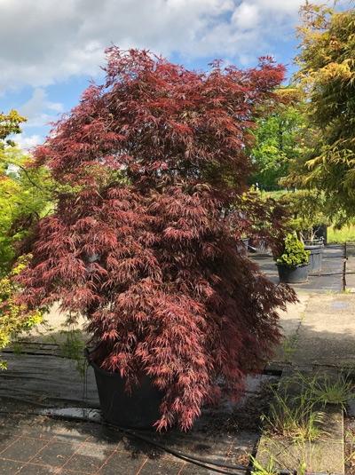 Acer palmatum 'Inaba shidare' / Fächerahorn 'Inaba shidare' / Japanischer Ahorn 250-300 cm (1118)