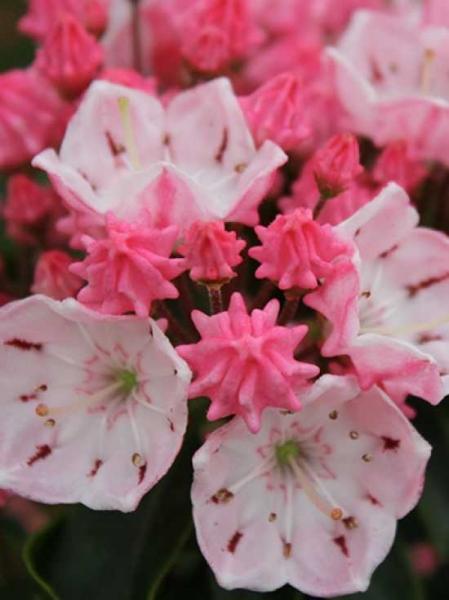 Kalmia latifolia 'Ostbo Red' / Lorbeerrose 'Ostbo Red' / Berglorbeer 'Ostbo Red'