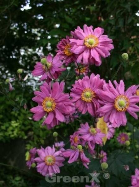 Anemone hupehensis 'Prinz Heinrich' / Herbst-Anemone