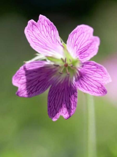 Geranium clarkei 'Kashmir Pink' / Kaschmir-Storchschnabel