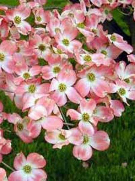 Cornus Florida Cherokee Brave Amerikanischer Blumen Hartriegel