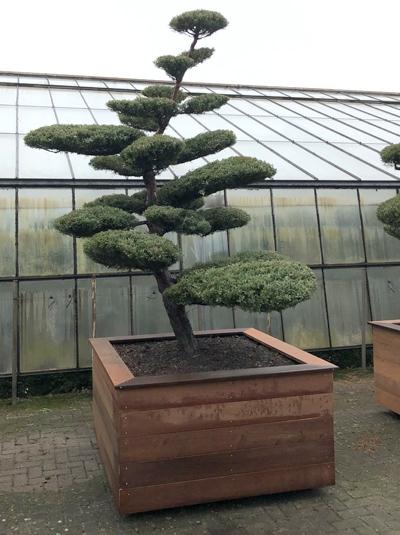 Juniperus media 'Hetzii'  H: 270 cm  / Garten-Bonsai (2390)