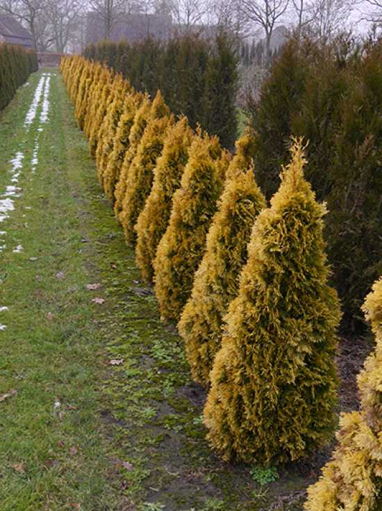 thuja occidentalis 39 golden smaragd 39 lebensbaum 39 golden smaragd 39 goldener smaragd lebensbaum. Black Bedroom Furniture Sets. Home Design Ideas