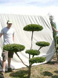 Taxus Bonsai