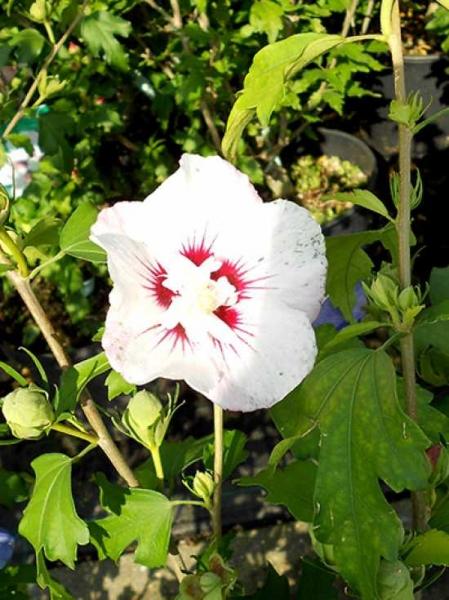 Hibiscus syriacus 'Pinky Spot' / Garten-Eibisch 'Pinky Spot' / Strauch-Eibisch 'Pinky Spot'