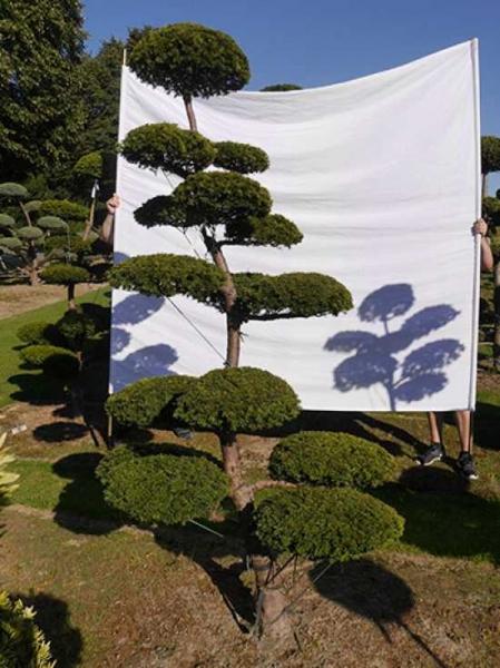 Taxus media 'Hillii' H: 260 cm B: 140 cm / Garten-Bonsai (0260)