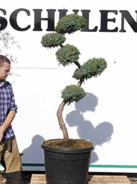 Juniperus chinensis 'Blue Alps' H: 125-150 cm / Garten-Bonsai (2512)