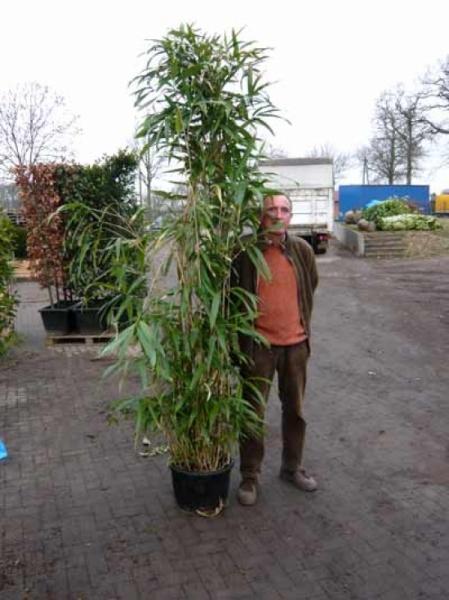 Pseudosasa japonica / Pfeilbambus 200-250 cm im 20-Liter Container
