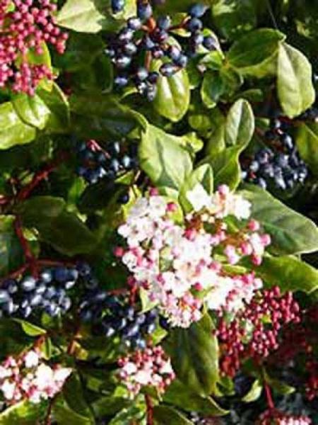 Viburnum tinus 'Eve Price' / Mittelmeer-Schneeball 'Eve Price'