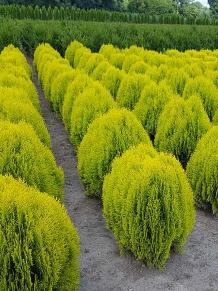Thuja orientalis 'Aurea Nana' / Morgenländischer Lebensbaum 'Aurea Nana'