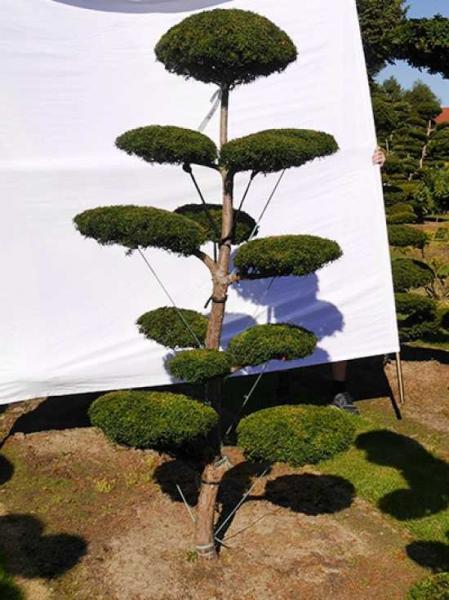 Taxus baccata H: 210 cm B: 110 cm / Garten-Bonsai (0119)