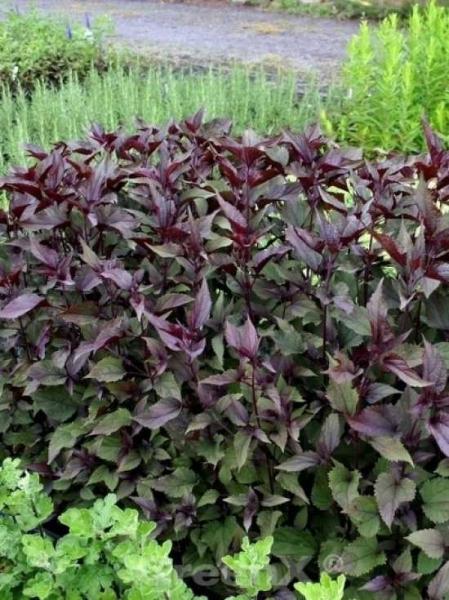 Eupatorium rugosum 'Chocolate' / Dunkelblättriger Garten-Dost
