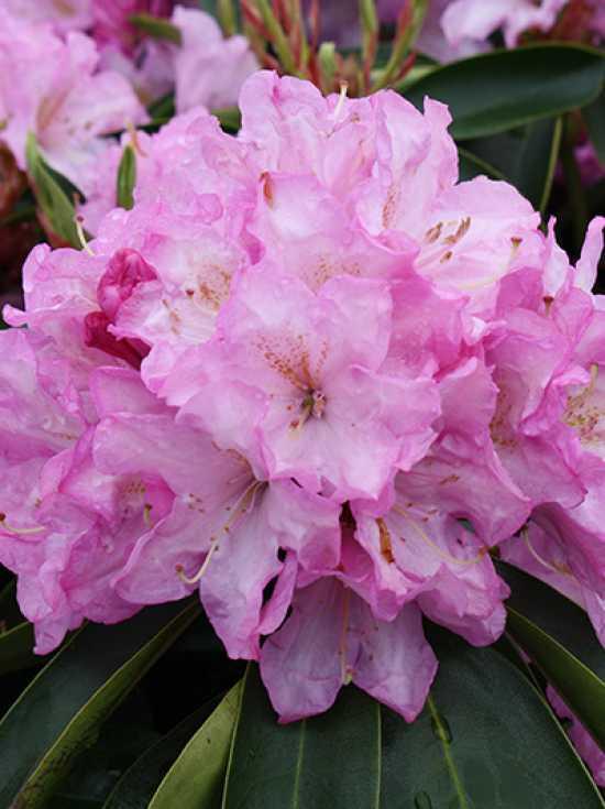 rhododendron hybride 39 rose duft 39 rhododendron 39 rose duft 39 g nstig kaufen baumschule new garden. Black Bedroom Furniture Sets. Home Design Ideas