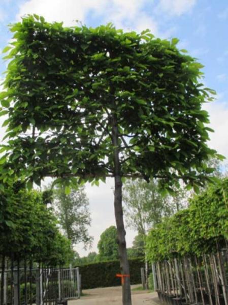 Carpinus betulus 'Spalier' / Hainbuche H: 150 cm B: 200 cm (Stamm 200 cm)