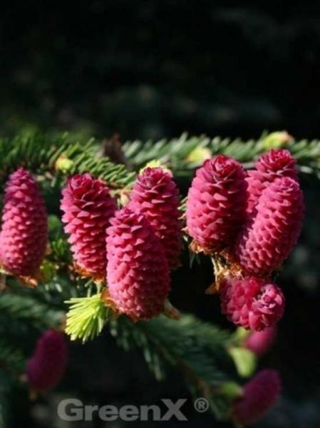 Picea abies 'Acrocona' / Zapfen-Fichte