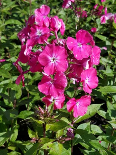 phlox paniculata 39 p nktchen 39 hohe beet flammenblume 39 p nktchen 39 g nstig kaufen. Black Bedroom Furniture Sets. Home Design Ideas