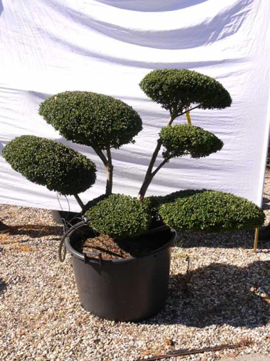 ilex crenata 39 convexa 39 h 120 cm b 110 cm garten bonsai. Black Bedroom Furniture Sets. Home Design Ideas