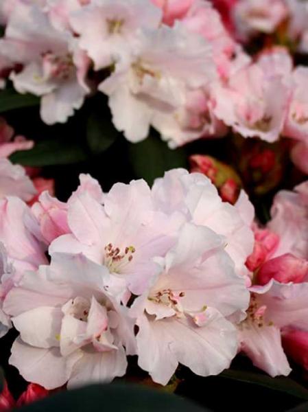 Rhododendron yakushimanum 'Mardi Gras' / Rhododendron 'Mardi Gras'