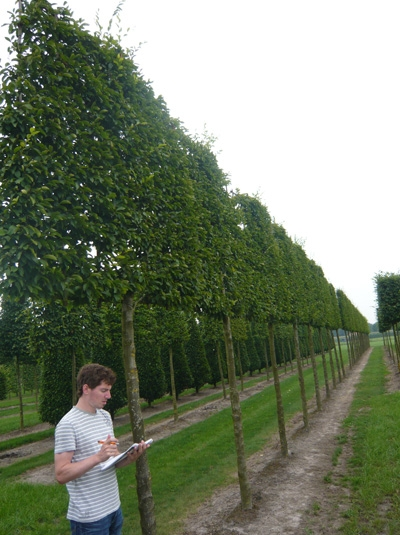 Carpinus betulus 'Lucas' / Hainbuche 'Lucas' / 'Hochstamm-Spalier' H:160 B:160 T:20 (Stamm 210 cm)