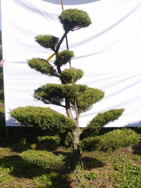 Juniperus media 'Hetzii' H: 190 cm B: 130 cm / Garten-Bonsai (301552)