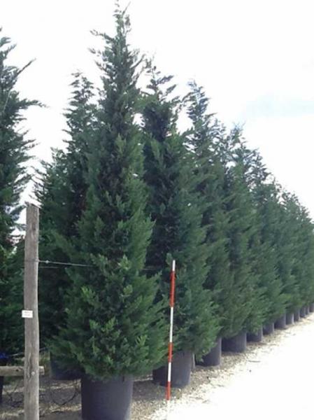 Cupressocyparis leylandii / grüne Bastardzypresse 450-500 cm im 240-Liter Container