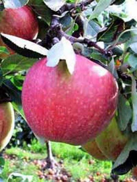 Malus domestica 'James Grieve' / Apfel 'James Grieve' 'Hochstamm-Spalier' H:160 B:160 T:20 (Stamm 210 cm)