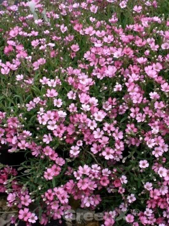 gypsophila repens 39 rosa sch nheit 39 polster schleierkraut. Black Bedroom Furniture Sets. Home Design Ideas