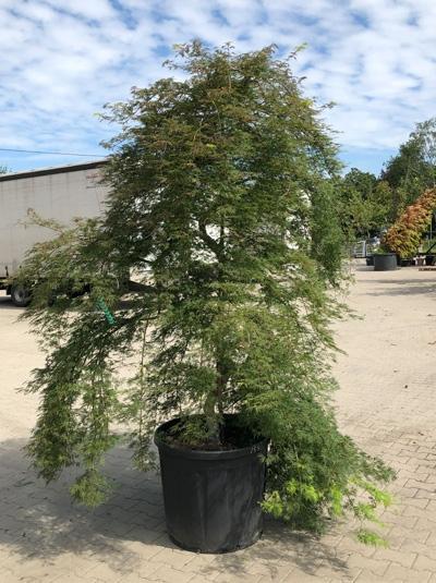 Acer palmatum 'Emerald Lace' / Fächerahorn / Japanischer Ahorn 200-250 cm (546814)
