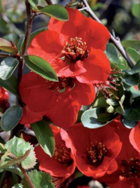 Chaenomeles superba 'Red Joy' / Zierquitte 'Red Joy'
