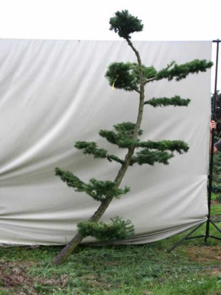 Larix decidua H: 230 cm B: 150 cm / Garten-Bonsai (801122)