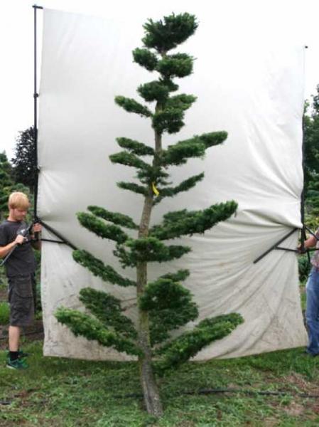 Larix decidua H: 320 cm B: 160 cm / Garten-Bonsai (801112)