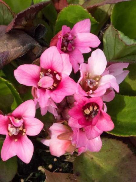 Bergenia cordifolia 'Flirt®' / Bergenie, Riesensteinbrech