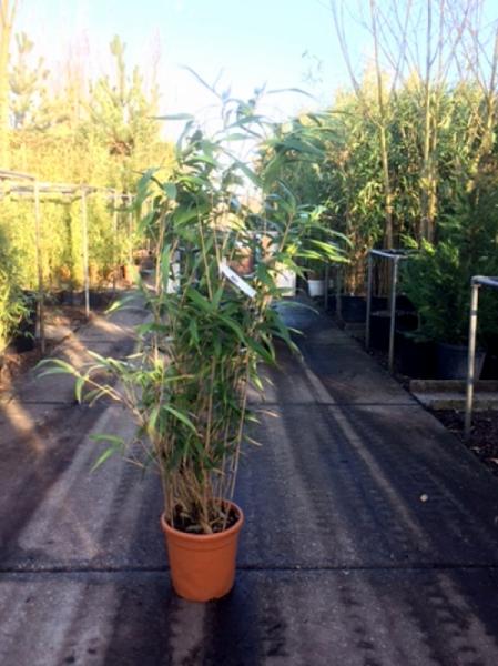 Pseudosasa japonica / Pfeilbambus 125-150 cm im 20-Liter Container